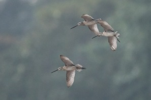 Asian Dowitcher at SBWR. Photo Credit: Francis Yap