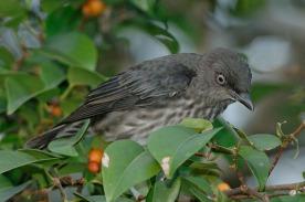 Juvenile Asian Glossy Starling at Seletar. Photo credit: Con Foley