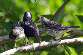 Asian Glossy Starling adult feeding juveniles at Dairy Farm. Photo credit: Francis Yap