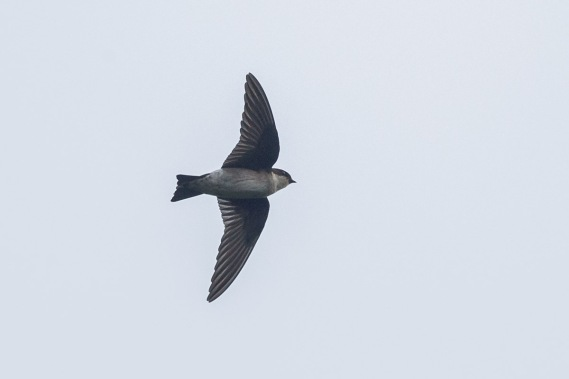 Asian House Martin at Jelutong Tower. Photo Credit: Francis Yap