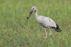 Asian Openbill at West Camp Road. Photo Credit: Francis Yap