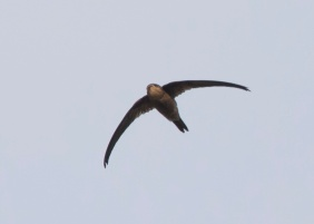 Asian Palm Swift at Thomson/Balestier Road. Photo credit: See Toh Yew Wai