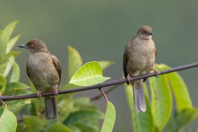 Asian Red-eyed Bulbul at Jelutong Tower. Photo Credit: Francis Yap