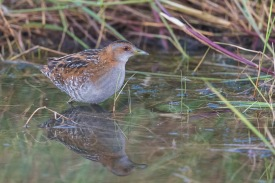 Baillon's Crake at Punggol Barat. Photo Credit: Francis Yap
