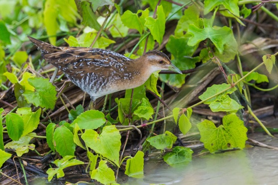Juvenile Baillon's Crake at Punggol Barat. Photo Credit: Francis Yap