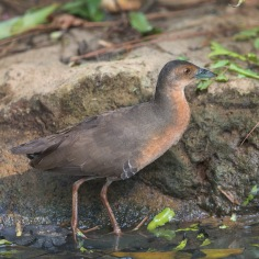 Band-bellied Crake at Chinese Garden. Photo Credit: Francis Yap
