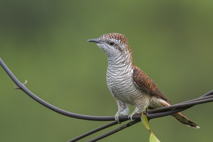 Banded Bay Cuckoo at Jelutong Tower. Photo Credit: Francis Yap