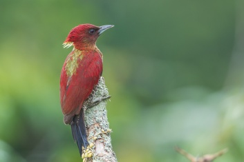 Banded Woodpecker at Jelutong Tower. Photo credit: Francis Yap