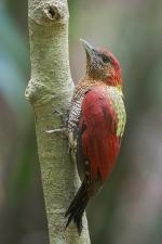 Banded Woodpecker at Lower Peirce. Photo credit: Francis Yap