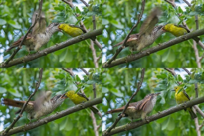 Juvenile Banded Bay Cuckoo being fed by Common Iora at Lorong Halus. Photo Credit: Francis Yap