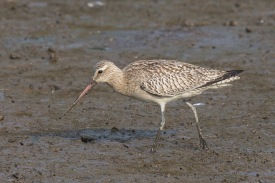 Bar-tailed Godwit at SBWR. Photo Credit: Francis Yap