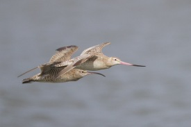 Bar-tailed Godwit at Mandai Mudflat. Photo Credit: Francis Yap