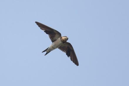 Barn Swallow at Jelutong Tower. Photo Credit: Francis Yap