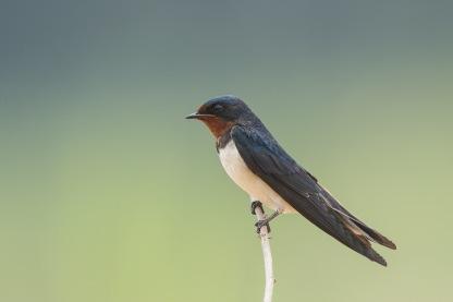 Barn Swallow at Punggol Barat. Photo Credit: Francis Yap