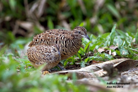 Male Barred Buttonquail with chick at Lorong Halus. Photo Credit: Alan Ng