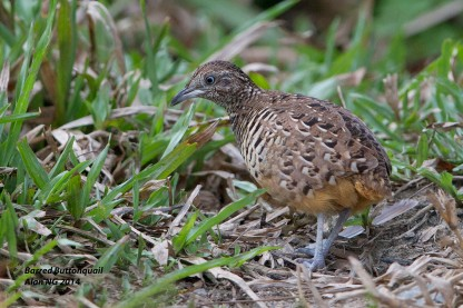 Male Barred Buttonquail at Lorong Halus. Photo Credit: Alan Ng