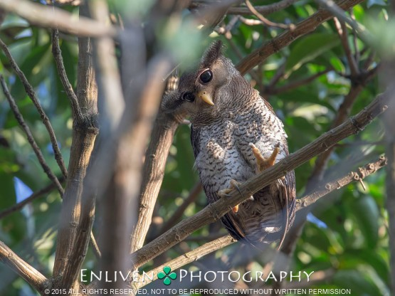 Barred Eagle Owl at Bukit Timah Nature Reserve. Photo Credit: Vincent Ng