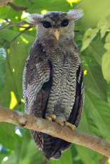 Barred Eagle Owl at Senai, Johor. Photo Credit: Alan Ng
