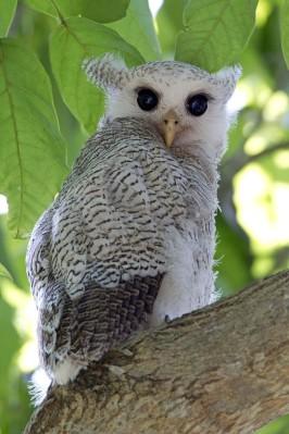 Barred Eagle Owl (juvenile) at Senai, Johor. Photo Credit: Alan Ng