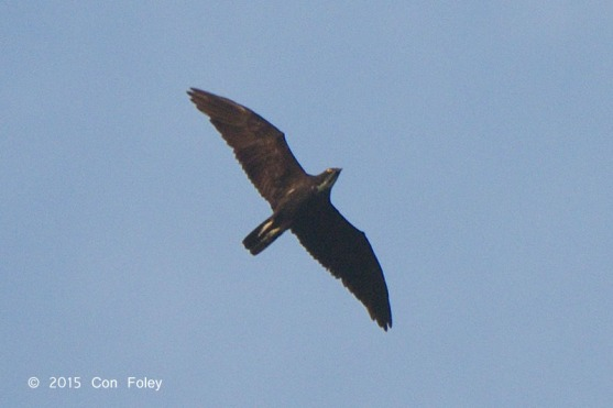 Bat Hawk at Panti Forest. Photo Credit: Con Foley