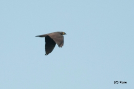 Bat Hawk at Panti Forest. Photo Credit: Rane Wong