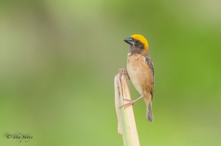 Male Baya Weaver. Photo Credit: Zahidi Hamid