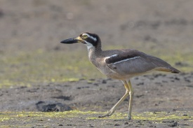 Beach Stone-curlew at Bali. Photo Credit: Francis Yap