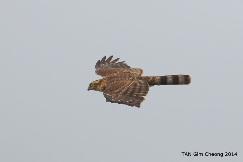 Juvenile Besra (top view) from Khao Dinsor, Thailand. Photo Credit: Tan Gim Cheong
