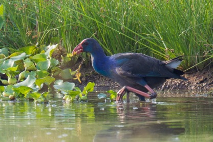 Grey-headed Swamphen at Kranji Marsh. Photo Credit: Francis Yap