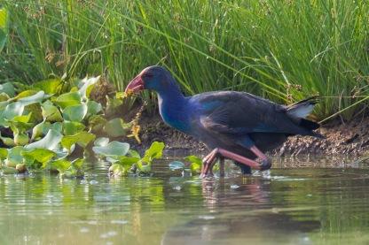 Grey-headed Swamphen at Kranji Marsh. Photo Credit: Francis Yap