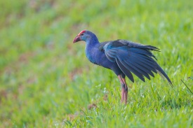 Grey-headed Swamphen at Lorong Halus. Photo Credit: Francis Yap