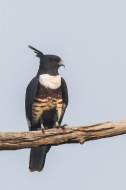 Black Baza at Faber Hill. Photo Credit: Francis Yap