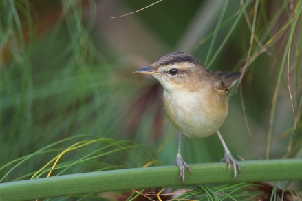 Black-browed Reed Warbler at Sengkang. Photo Credit: Francis Yap