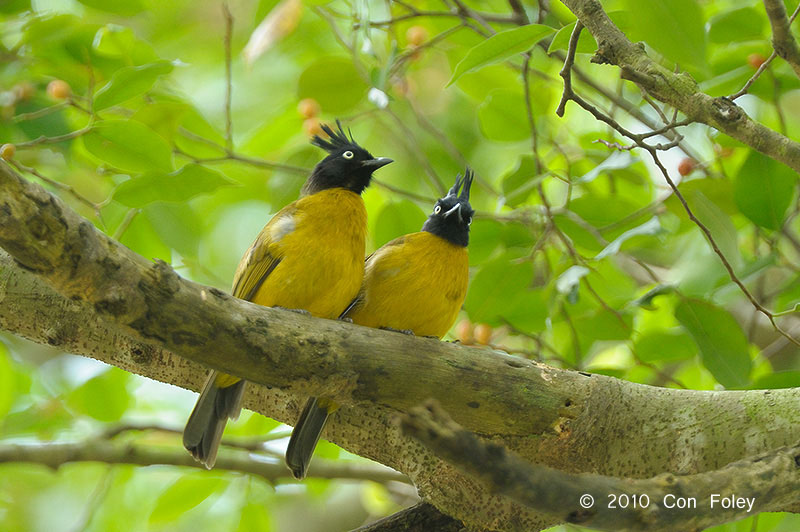 Black-crested Bulbul at Bukit Timah. Photo Credit: Con Foley