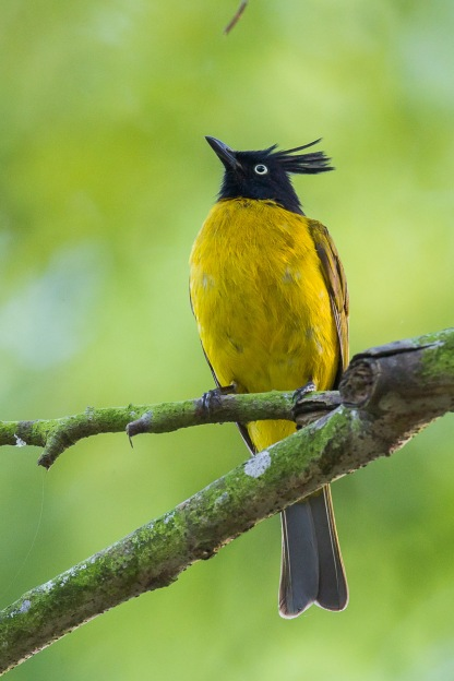 Black-crested Bulbul at Bukit Timah Summit. Photo Credit: Francis Yap