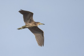 Juvenile Black-crowned Night Heron at Lorong Halus. Photo Credit: Francis Yap