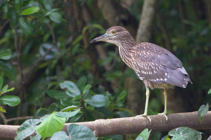 Juvenile Black-crowned Night Heron at Pasir Ris Park. Photo Credit: Francis Yap