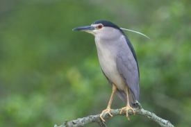 Adult Black-crowned Night Heron at Pasir Ris Park. Photo Credit: Francis Yap