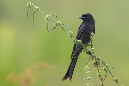 Black Drongo at Batang Tiga, Malaysia. Photo Credit: Francis Yap
