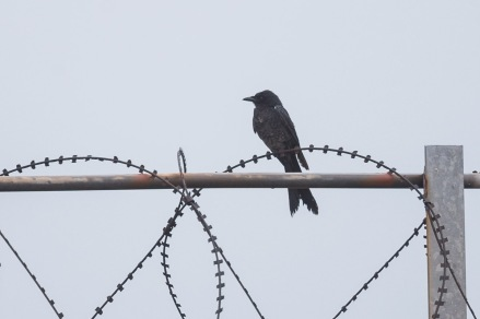 Black Drongo at Tuas South. Photo Credit: Francis Yap