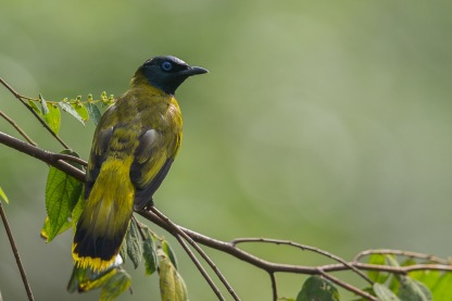 Black-headed Bulbul at Macritchie Reservoir. Photo Credit: Francis Yap