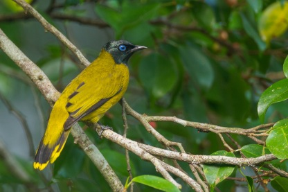 Black-headed Bulbul at Bukit Brown. Photo Credit: Francis Yap
