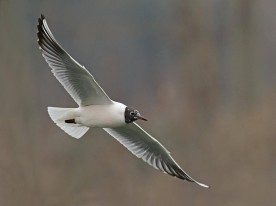 Adult Black-headed Gull in breeding plumage from China. Photo Credit: Henry Koh
