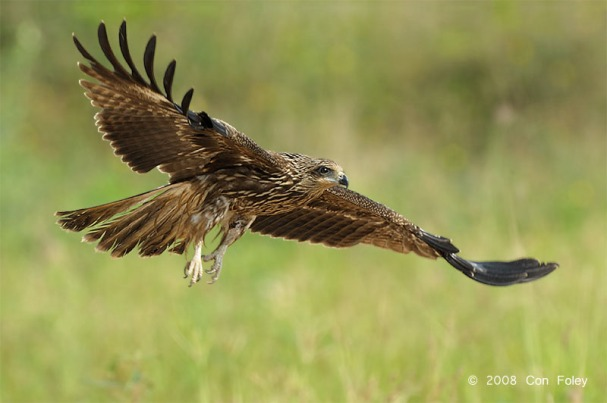 Juvenile Black Kite at Changi. Photo Credit: Con Foley