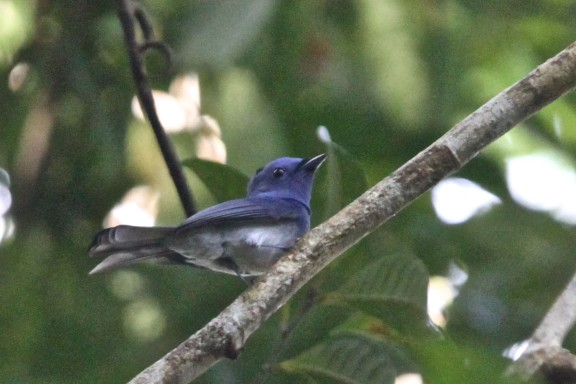 Male Black-naped Monarch at Pulau Tekong on 16 Dec 2012. Photo Credit: Lim Kim Chuah