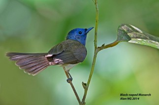 Black-naped Monarch (female) at Panti Bird Sanctuary. Photo credit: Alan Ng