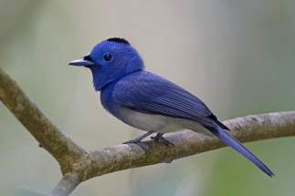 Black-naped Monarch (male) at Panti Bird Sanctuary. Photo credit: Alan Ng