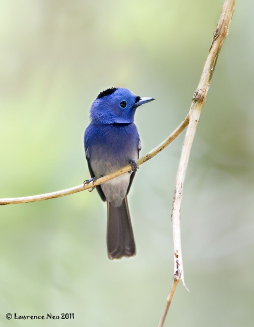 Black-naped Monarch (male) at Panti Bird Sanctuary. Photo credit: Lawrence Neo
