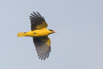 Black-naped Oriole at Jelutong Tower. Photo Credit: Francis Yap
