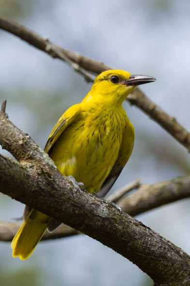 Juvenile Black-naped Oriole at Pasir Ris Park. Photo Credit: Francis Yap